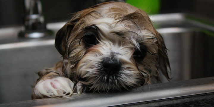 Cómo se debe bañar a un cachorro