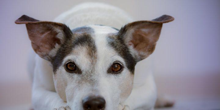 Principales efectos secundarios de las vacunas para mascotas caninas