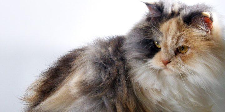 Consejos para cuidar a un gato de angora