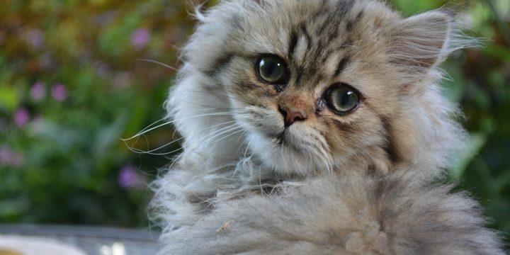 Consejos para cuidar a un gato persa