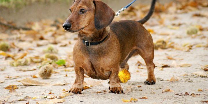 Consejos para cuidar a un perro salchicha