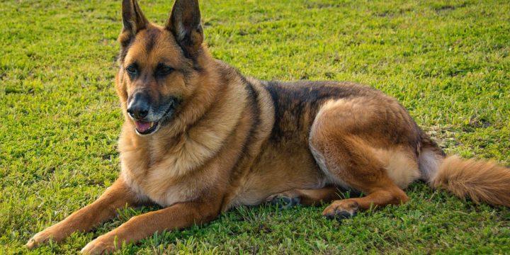 Consejos para cuidar un perro pastor alemán