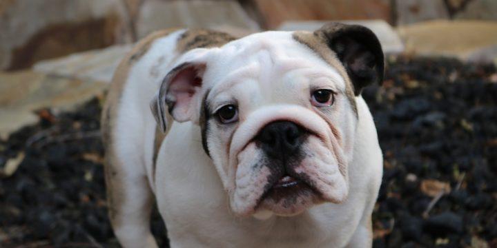 Consejos para cuidar a un perro bulldog