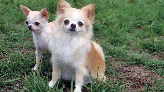 Cómo cuidar y atender a un perro Chihuahua