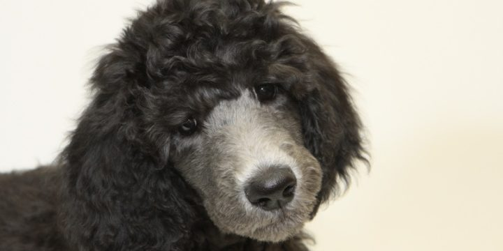 Consejos para cuidar a un perro french poodle