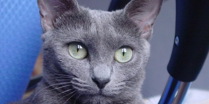 Consejos para cuidar un gato azul ruso