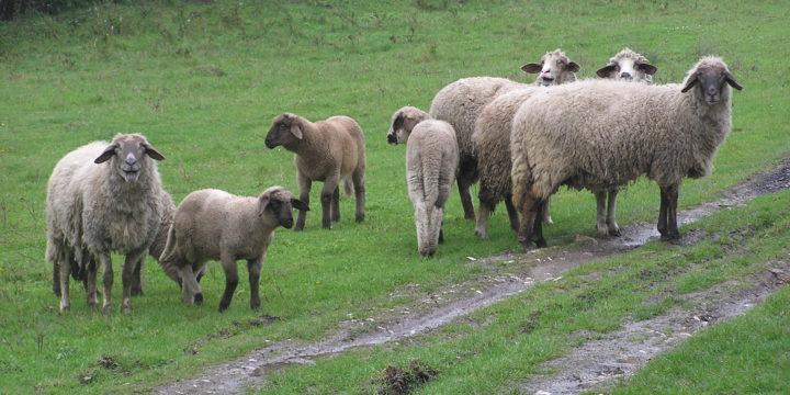 Consejos y recomendaciones para criar ovejas