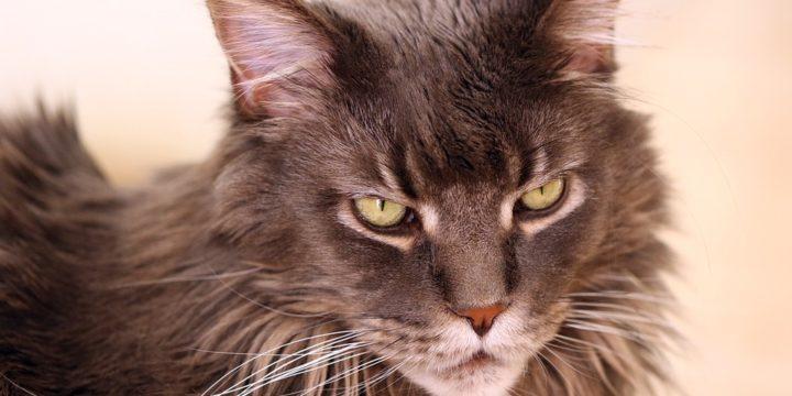 Consejos para cuidar un gato Maine Coon