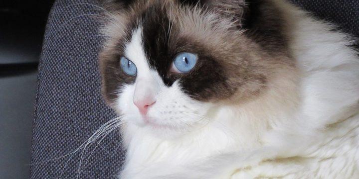 Consejos para cuidar a un gato Ragdoll