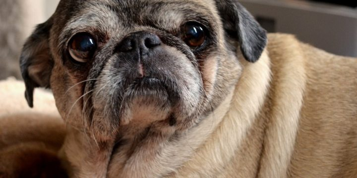 Consejos para cuidar a un perro pug