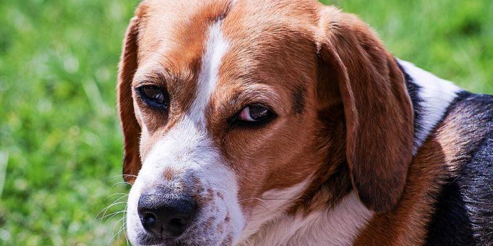 Consejos para cuidar a un perro Beagle