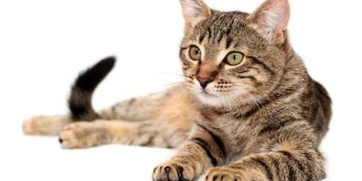 Consejos para cuidar a un gato Ocicat