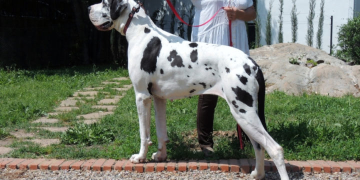 Consejos para cuidar un perro Gran Danés