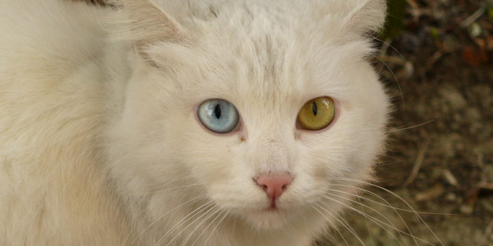 Consejos para cuidar a un Gato de Angora Turco