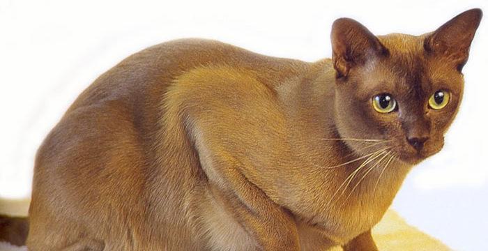 Consejos para cuidar a un gato Burmés