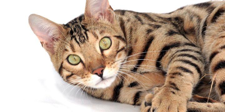 Consejos para cuidar a un gato de Bengala