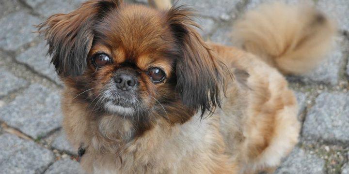 Consejos para cuidar a un perro pekinés