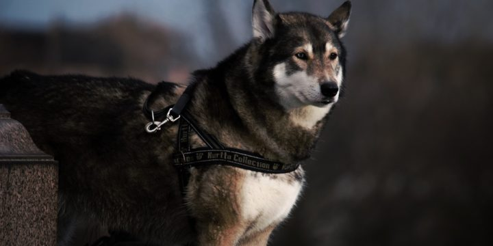 Consejos para cuidar a un perro Husky Siberiano
