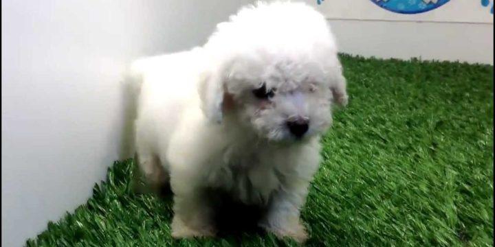 Consejos para cuidar un perro mini toy