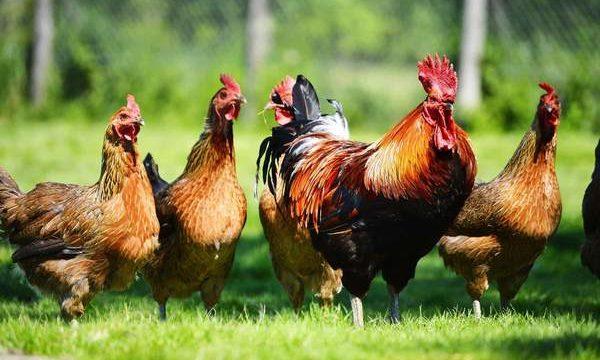 Los mejores complementos nutricionales para las aves de corral