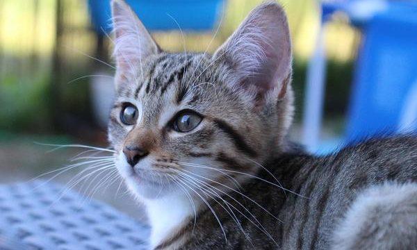 Cómo cuidar a los gatos bebés