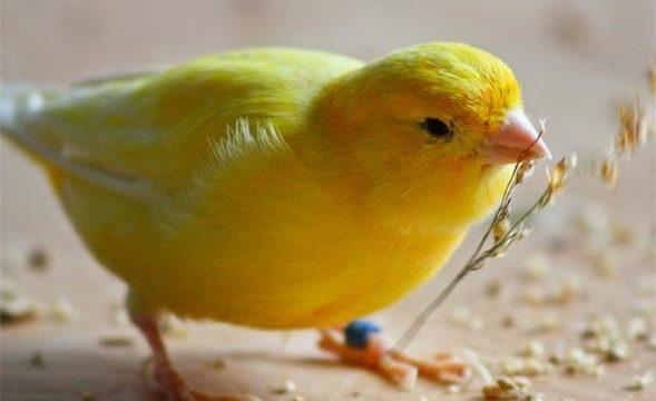 Consejos para tener pájaros en casa y garantizar su bienestar