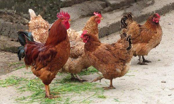 Consejos para el cuidado de las gallinas ponedoras