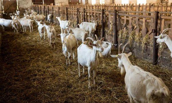 Consejos para cuidar ganado caprino en una granja