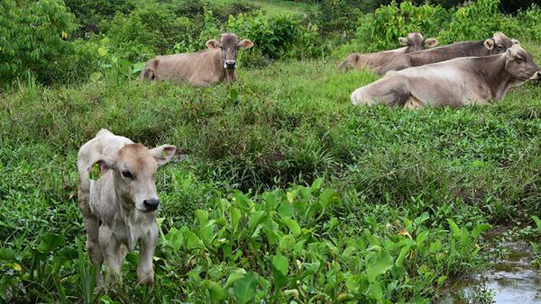 Consejos para la desparasitación bovina