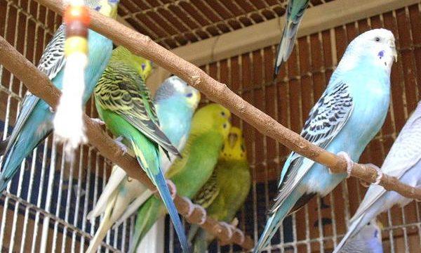 Importancia de las vitaminas para los pájaros mascota