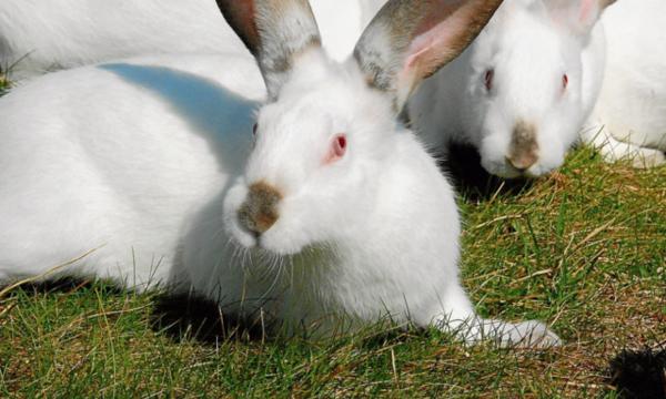 Importancia de la veterinaria para la cunicultura