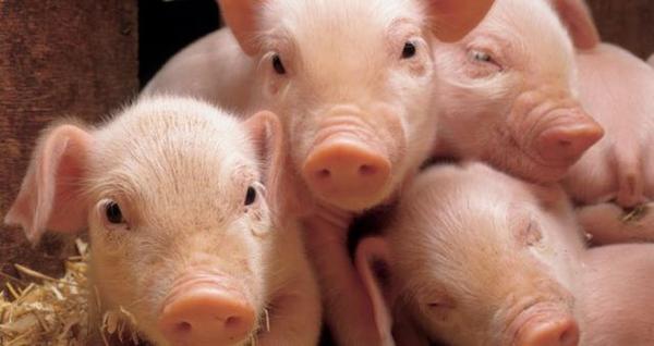 Cómo criar cerdos de granja sanos y fuertes