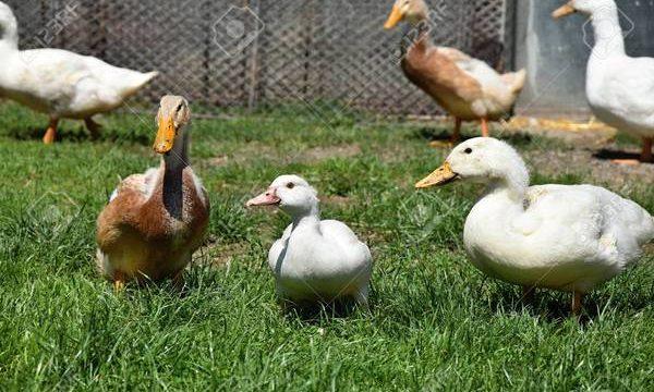 Cómo cuidar a los patos en la granja