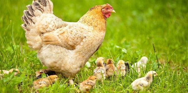 Recomendaciones para el buen cuidado de las gallinas ponedoras