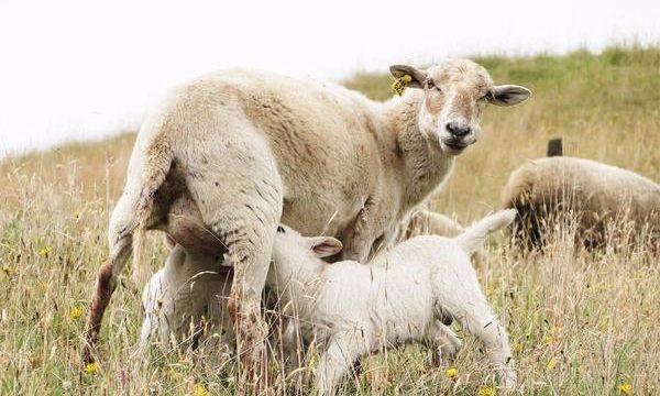 Consejos para el correcto cuidado de los ovinos