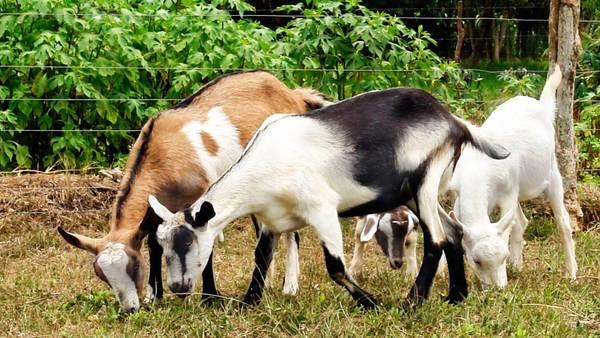 Recomendaciones para la vacunación de ovejas en las granjas
