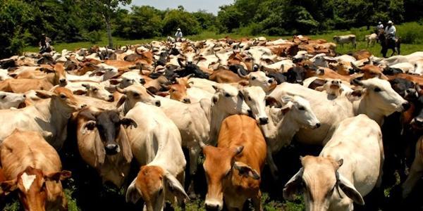 El problema del estrés bovino en las granjas y criaderos