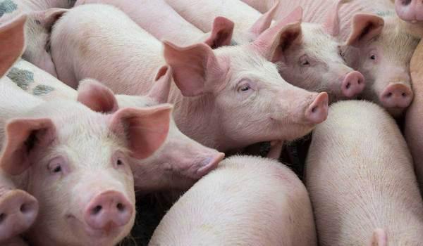 Principales enfermedades que afectan al ganado porcino