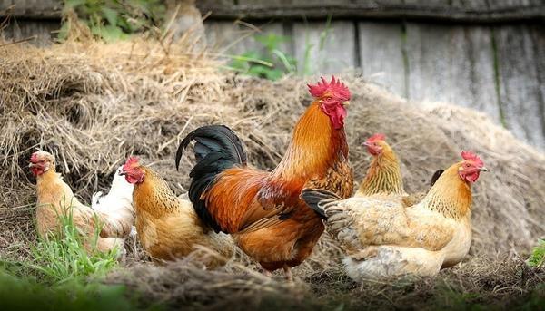 Importancia de evitar el sufrimiento de los animales de granja