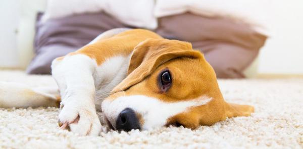 Importancia de los ladridos y movimientos de cola del perro
