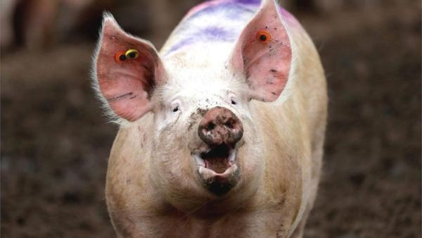 Cómo resolver el problema de la Coccidiosis porcina