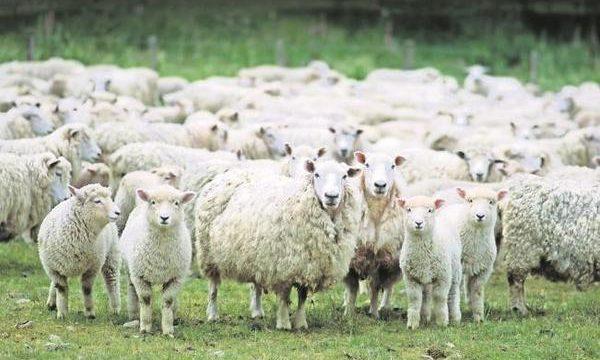Recomendaciones para la alimentación de las ovejas