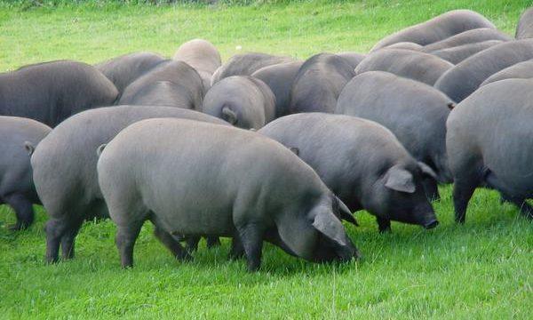 Consejos veterinarios para la cría de cerdos saludables