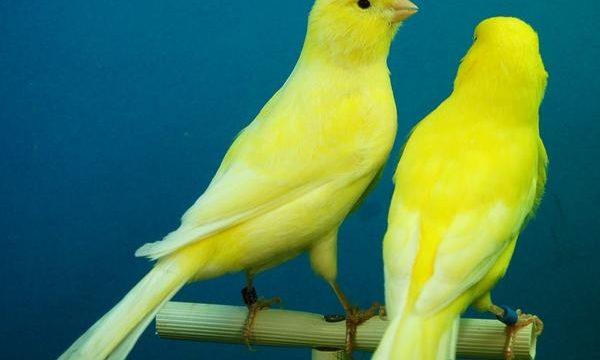 Consejos para cuidar canarios en casa