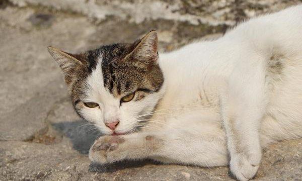Cuidado del pelo e higiene en los gatos mascota