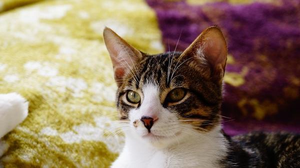 Exámenes veterinarios más importantes para los gatos domésticos