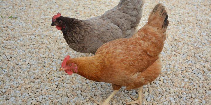 Recomendaciones para seleccionar el gallinero ideal para las gallinas