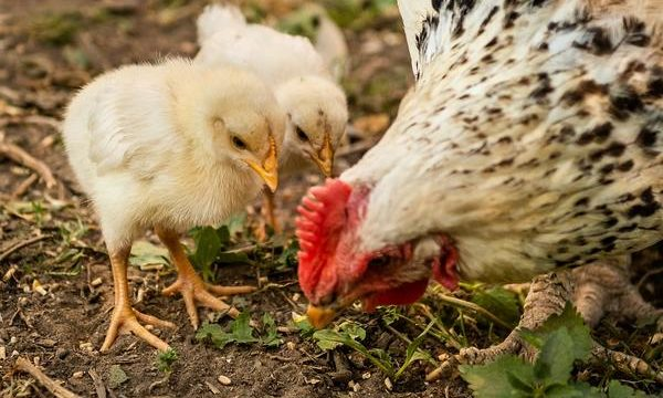 Cómo criar gallinas saludables y obtener huevos frescos en la granja