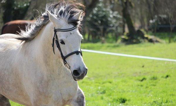Cómo atender los abscesos en los cascos equinos