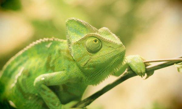 Consejos y recomendaciones para cuidar a un camaleón mascota